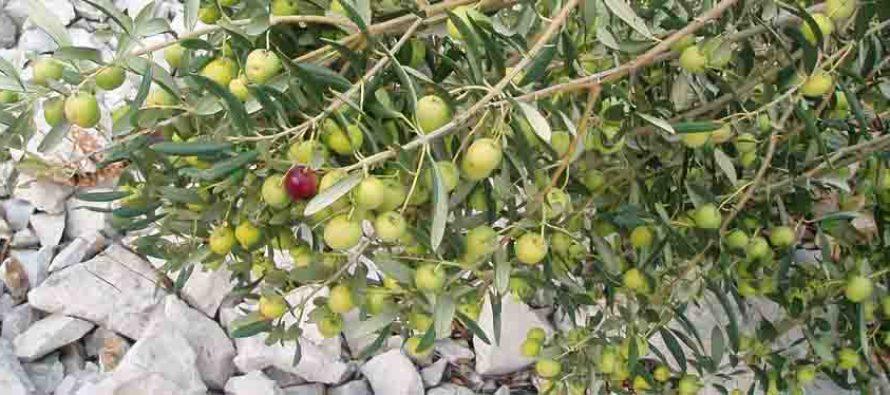 PREDAVANJE: Ljekovita svojstva maslinovog ulja  i njegovo dobivanje
