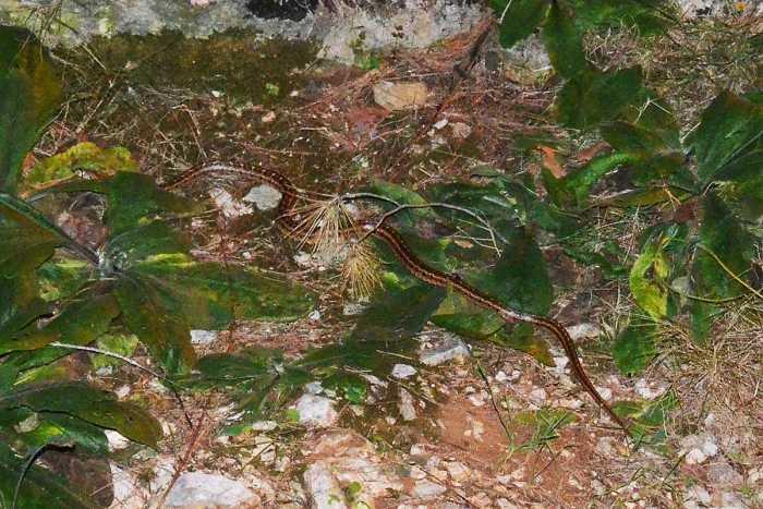 zmija neotrovna