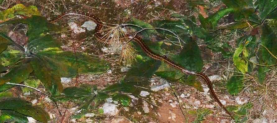 Viđena jedna od najljepših neotrovnih zmija u Europi