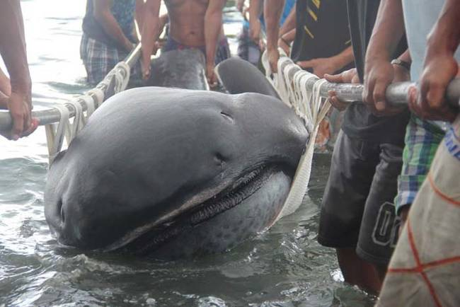 Fishermen use a stretcher with steels bars to carry a rare 15-foot (4.5-m) megamouth shark, which was trapped in a fishermen's net in Burias Pass