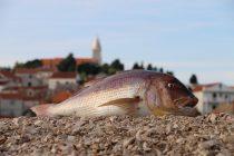 Lov živom lignjom i jigging u Primoštenu