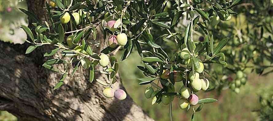 Kobna godina za više od milijun stabala na potezu od Grebaštice, preko Primoštena i Rogoznice do granice s općinom Marina